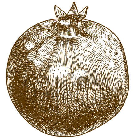 Vector antique engraving drawing illustration of pomegranate or punica granatum isolated on white background