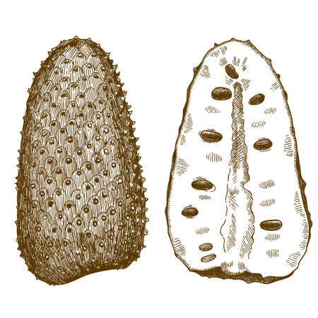 Vector antique engraving drawing illustration of soursop or guanabana isolated on white background