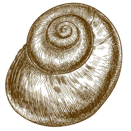 Vector antique engraving drawing illustration of spiral snail shell isolated on white background