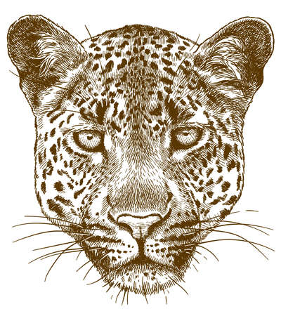 Vector ilustración de dibujo de grabado antiguo de cara de leopardo aislado sobre fondo blanco.