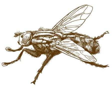 Wektor antyczne grawerowanie rysunek ilustracja mucha owad na białym tle Ilustracje wektorowe