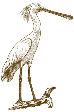 Vector antique engraving drawing illustration of eurasian spoonbill on white background Çizim