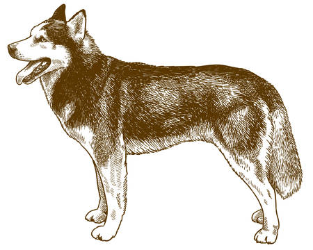 Vector antique engraving drawing illustration of husky dog isolated on white background