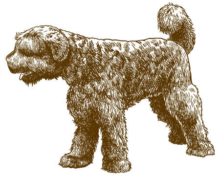 Vector antique engraving drawing illustration of portuguese water dog isolated on white background Ilustração