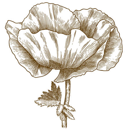 Vector antique engraving drawing illustration of poppy flower isolated on white background