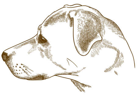 Vector antique engraving drawing illustration of labrador retriever cur head isolated on white background