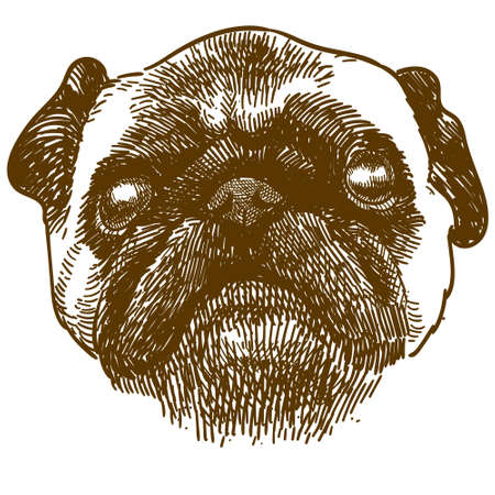 Vector antique engraving drawing illustration of pug dog head isolated on white background Çizim