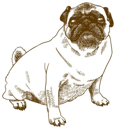 Vector antique engraving drawing illustration of pug dog isolated on white background