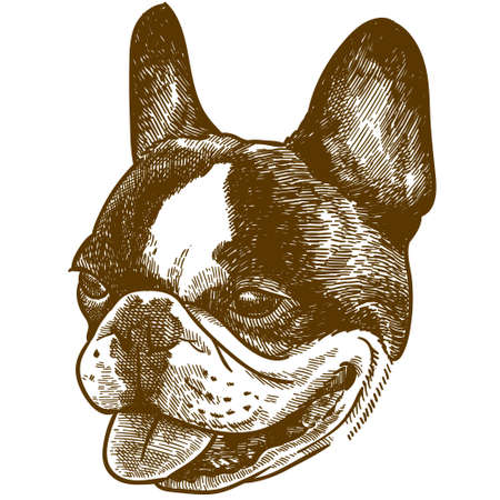 Vector antique engraving drawing illustration of french bulldog head  isolated on white background