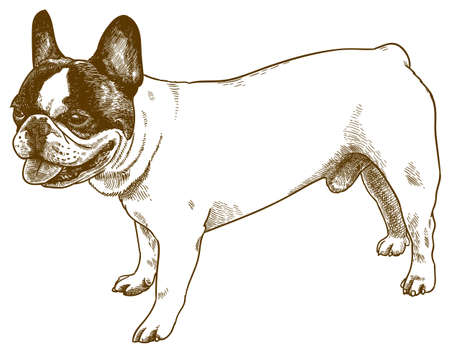 Vector antique engraving drawing illustration of french bulldog isolated on white background