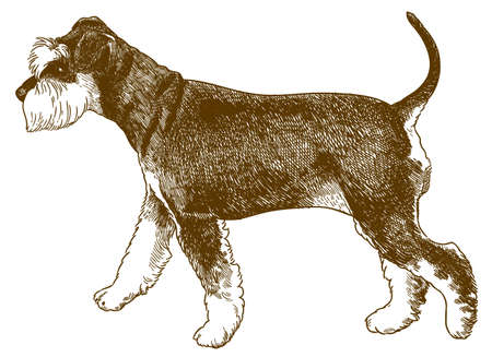 Vector antique engraving drawing illustration of miniature schnauzer dog isolated on white background