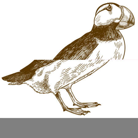 Vector antique engraving drawing illustration of horned puffin bird isolated on white background Ilustração