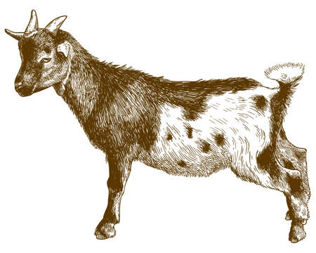 Vector antique engraving drawing illustration of goatling kid isolated on white background