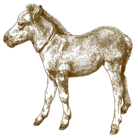Vector antique engraving drawing illustration of pony or horse foal or equus ferus caballus isolated on white background
