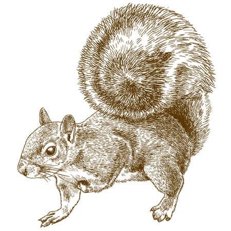 Ilustración de dibujo de grabado antiguo de vector de ardilla gris oriental o ardilla gris americana aislada sobre fondo blanco