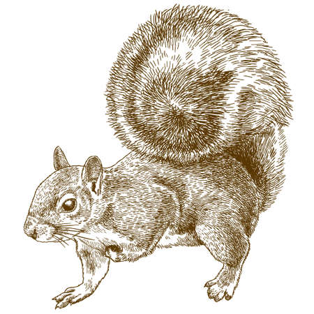 Vector antique engraving drawing illustration of eastern gray squirrel or American gray squirrel isolated on white background Çizim