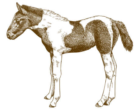 Vector antique engraving drawing illustration of  horse or pony foal isolated on white background Çizim