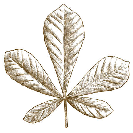 Vector antique engraving drawing illustration of chestnut leaf isolated on white background