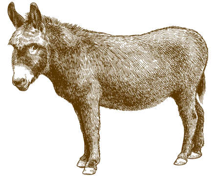 Vector antique engraving drawing illustration of burro donkey isolated on white background