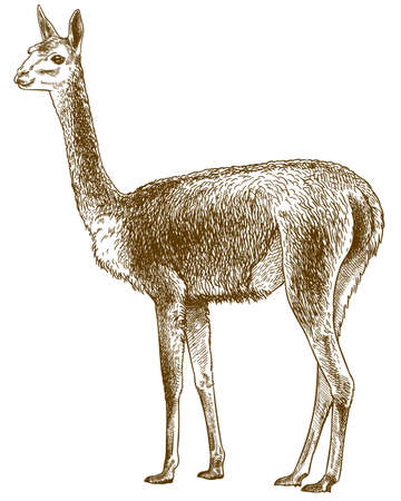 Vector antique engraving drawing illustration of vicuna lama or Vicugna vicugna isolated on white background