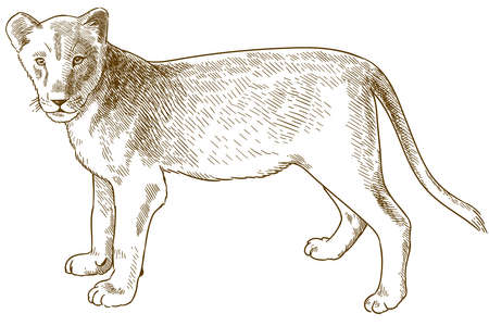 Vector antique engraving drawing illustration of lion cub isolated on white background