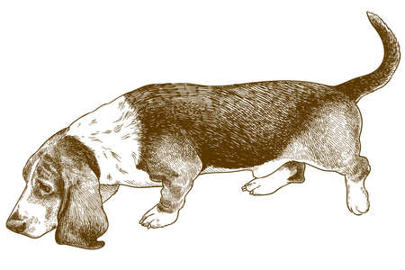 Vector antique engraving illustration of dog basset hound isolated on white background Illustration
