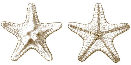 Vector antique engraving drawing illustration of starfish isolated on white background. Top view and bottom view