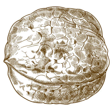 Vector antique engraving drawing illustration of walnut isolated on white background Çizim