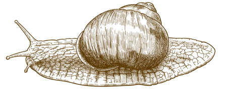 Vector antique engraving drawing illustration of roman snail or helix pomatia isolated on white background