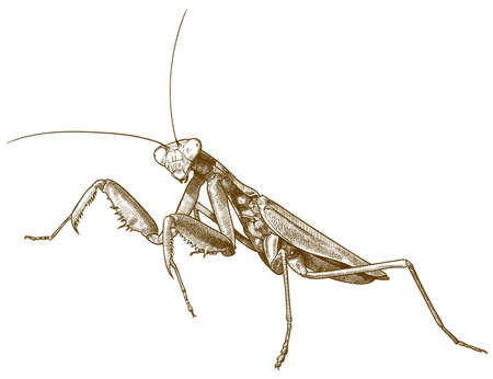 Vector antique engraving drawing illustration of praying mantis or stick mantis isolated on white background