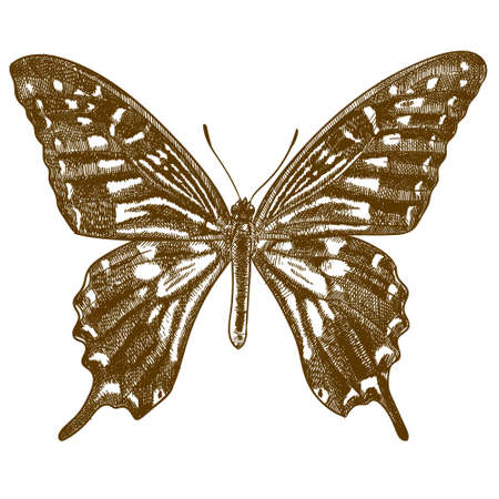 Vector antique engraving drawing illustration of asian swallowtail butterfly or papilio xuthus isolated on white background 矢量图像