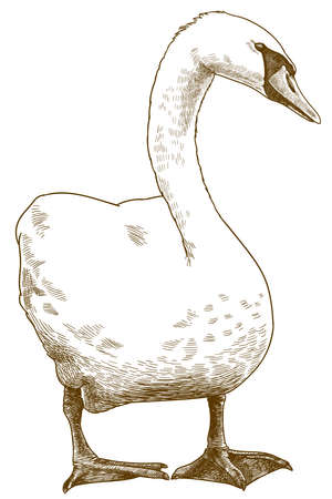 Vector antique engraving drawing illustration of white mute swan isolated on white background Ilustração