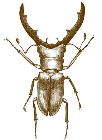 Vector antique engraving drawing illustration of stag beetle or cyclommatus metallifer isolated on white background