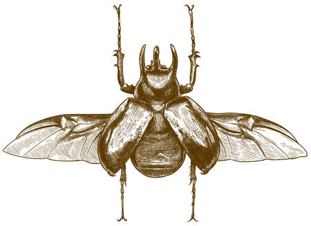 Vector antique engraving drawing illustration of giant rhinoceros beetle or chalcosoma caucasus isolated on white background