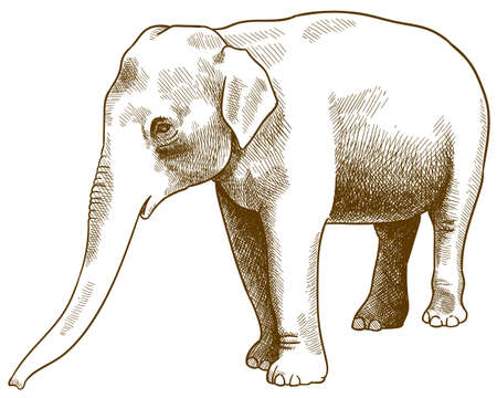 Vector antique engraving drawing illustration of Indian elephant or Elephas maximus indicus isolated on white background 向量圖像