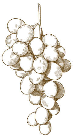 Vector antique engraving drawing illustration of  guinea pig or bunch of grapes isolated on white background