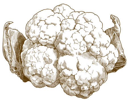 Vector antique engraving drawing illustration of cauliflower or brassica oleracea isolated on white background Ilustracja