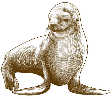 Vector antique engraving drawing illustration of fur seal or Arctocephalus pusillus isolated on white background