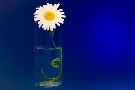 On a dark blue background a glass with chamomile, on the right is place for an inscription.