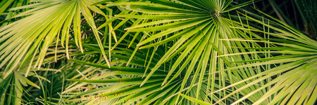 Background from natural leaves of a palm tree of green color