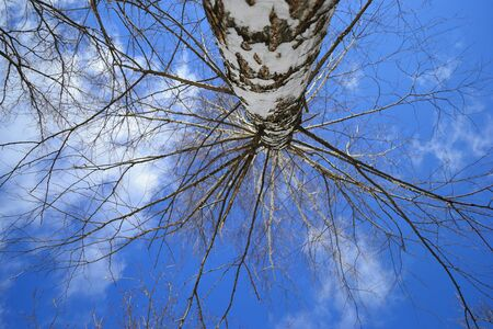 birch tree without leaves from below view Reklamní fotografie