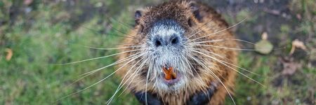 Nutria animal stands on its hind legs looking up