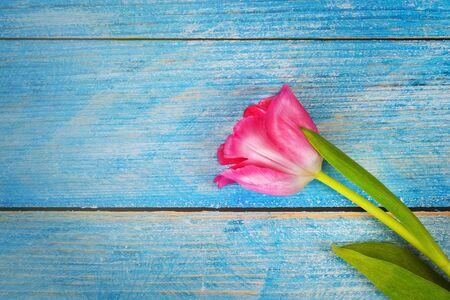 Leuchtend rosa Tulpe Nahaufnahme auf blauen Holzbohlen