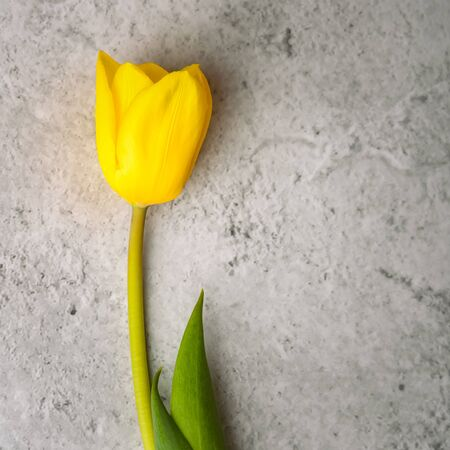 One bright yellow Tulip on a gray background