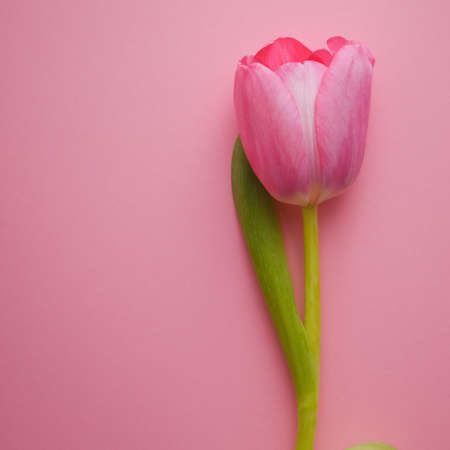One beautiful pink Tulip close-up on a pink background