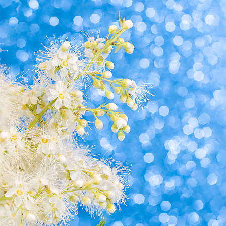 A branch with small white lush flowers on a blue background with a bokeh effect. Screen saver, layout, mockup.