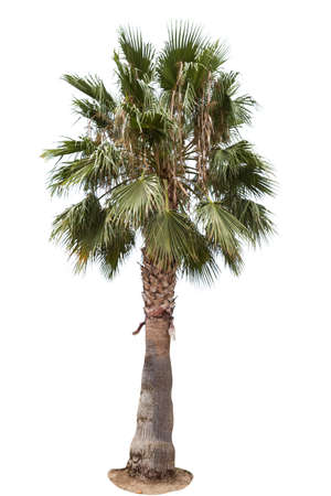 date palm tree: Date palm tree isolated over white background