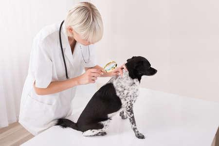 piojos: Veterinario de sexo femenino joven que mira el pelo de perro a través de la lupa En Clínica Foto de archivo