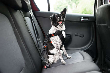 Dog With Sticking Out Tongue Sitting In A Car Seat Stock Photo