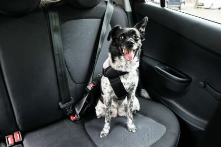 Dog With Sticking Out Tongue Sitting In A Car Seat Standard-Bild